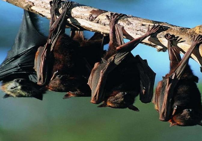 世卫组织报告:新冠病毒与菊头蝠冠状病毒有关联